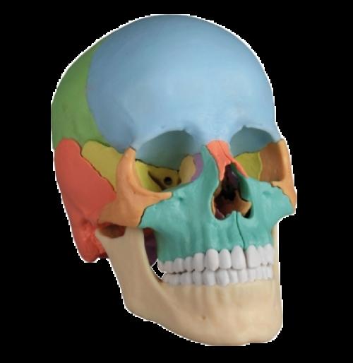 cranio-25